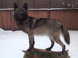 Life size professionally mounted timber wolf Edmonton Edmonton Area image 1