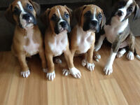 BOXER PUPPIES FOR SALE!