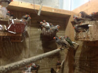 FINCHES FOR SALE why pay retail prices $30.00