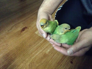 Super friendly Hand feed baby love bird for sale