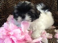 VERY SPECIAL FAMILY RAISED SHIH TZU x POO PUPPIES