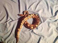 Ball Python Normal- Nego