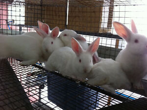 New Zealand Meat Rabbits - Commercial Blood Line - QUALITY Peterborough Peterborough Area image 2