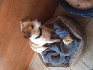 (Vendu)Adorable chien mélange chihuahua/jack russel à vendre