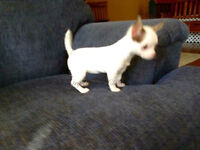 "SOLD female Short Coat ""Apple Head"" Chihuahua Puppy"
