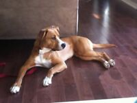 Boxer mix needs a new loving home