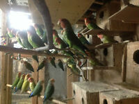 LOVEBIRDS FOR SALE NEW BABIES ARE READY