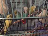 Green cheeked conures and English budgies