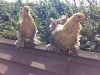 Gold Partridge Pekin Hen/bantam
