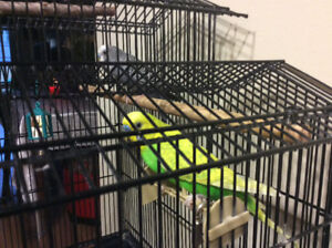 Free budgie! cage, food and supplies