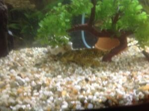 47 gal  bow front acquarium with fish and many accessories