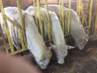 Charolais and charolaisxshorthorn cattle for sale