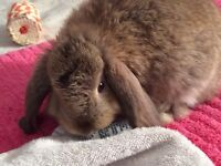 Lop eared, lion head bunnies for sale 8 weeks old