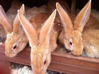 Yellow Continental Giant Rabbits