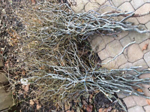 Freshly cut curly willow branches for flower arrangements