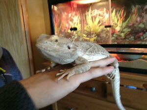 Bearded Dragon and complete terrarium