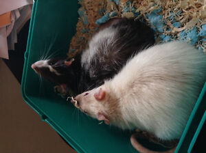 2 male rats for sale + cage NEED GONE ASAP