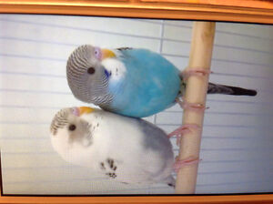 *New Post* 2 Budgies+Cages+Toys