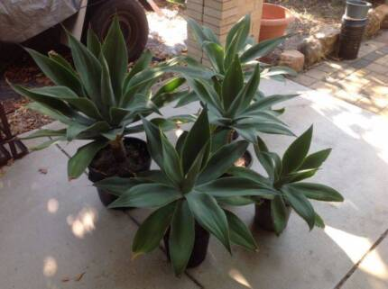 Agave in pots for sale