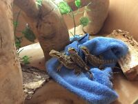 1 baby bearded dragon for sale, 3 legs only NO DELIVERY