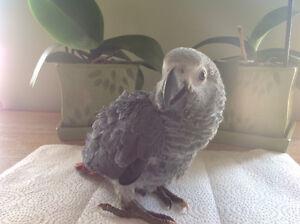 Bébés perroquets gris d Afrique