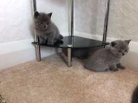Amazing Blue British Short-hair kittens
