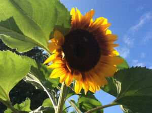 Sunflower seedling plants Fundraising to compete at Summer Games