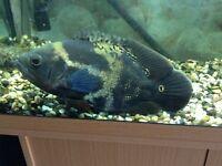 Large Oscar tropical fish