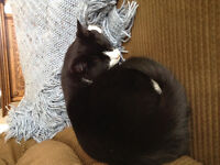 Lost black and white male cat on the North Road, Plevna.