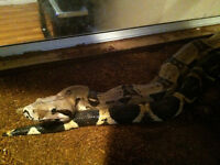 3.5 yr old, 6.5' red tail Boa...and large terrarium...