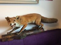 Taxidermy Stuffed Mounted Full Size Fox