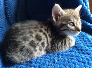 Brown  Charcoal Bengal Kittens Pure /   Guaranty ,  Delivery
