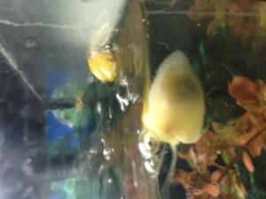 FREE Baby Apple Snails