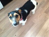 Male Jack Russell 9 months old