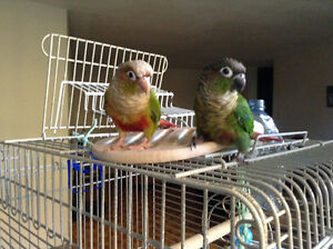2 baby Tame Conure parrot (trade for a blue Quaker parrot baby)