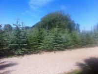 Quality Colorado Blue Spruce Trees For Sale