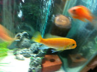Red X Red Male Cichlid *PRICE REDUCED*