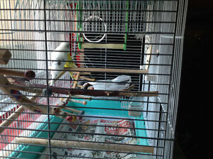 Two Budgies with cage, toys