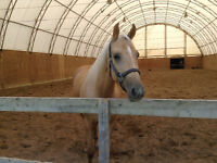 Beau cheval Palomino Paint Enr. 6 ans reining