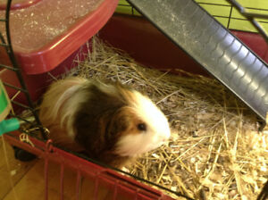 Higglety Pigglety House - a shelter for guinea pigs & hamsters