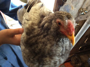 1 AMERICANA ROOSTER FOR SALE! Peterborough Peterborough Area image 1