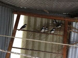 FINCHES DIAMOND FIRETAILS Cannington Canning Area Preview