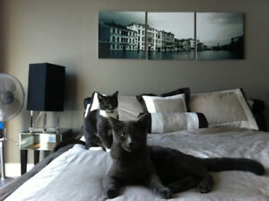 2 Russian Blue cats looking for a new home