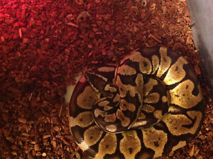 Male Ball Python for sale!
