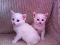 pure white turkish angora kitten