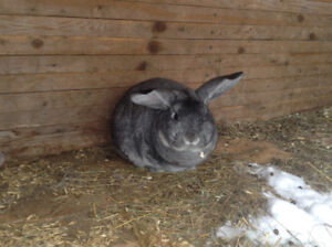 1  Mini Lop  available for rehoming