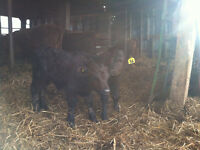 Dexter cow and calf pairs for Sale