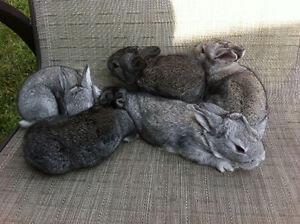 New Zealand Chinchilla Crossed Meat Rabbits COMMERCIAL BLOODLINE