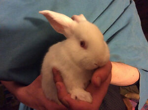 Checkered Giant /  Flemish Giant bunnies