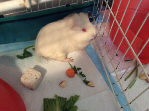 Guina pig - 2 males need home